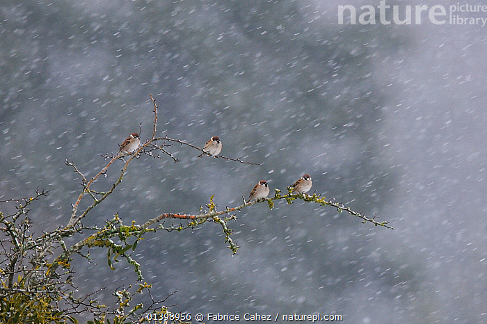 Tree sparrows (Passer montanaus) perched in falling snow, Vosges, France, December, BIRDS,COLD,EUROPE,FLOCKS,FOUR,FRANCE,GROUPS,PASSERIDAE,SNOW,SNOWING,SONGBIRDS,SPARROWS,VERTEBRATES,WEATHER,WINTER, Fabrice Cahez