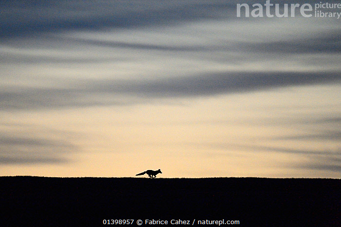 Red fox (Vulpes vulpes) silhouetted  running along horizon at dawn, Vosges, France, April  ,  ATMOSPHERIC,CANIDAE,CANIDS,CARNIVORES,COPYSPACE,DAWN,DUSK,EUROPE,FOXES,FRANCE,MAMMALS,ONE,RUNNING,SILHOUETTES,VERTEBRATES,Dogs  ,  Fabrice Cahez