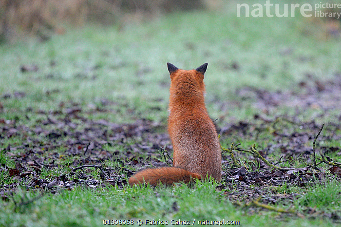 Red fox (Vulpes vulpes) sitting rear view, Vosges, France, January  ,  CANIDAE,CANIDS,CARNIVORES,EUROPE,FOXES,FRANCE,MAMMALS,REAR VIEW,VERTEBRATES,WINTER,Dogs  ,  Fabrice Cahez