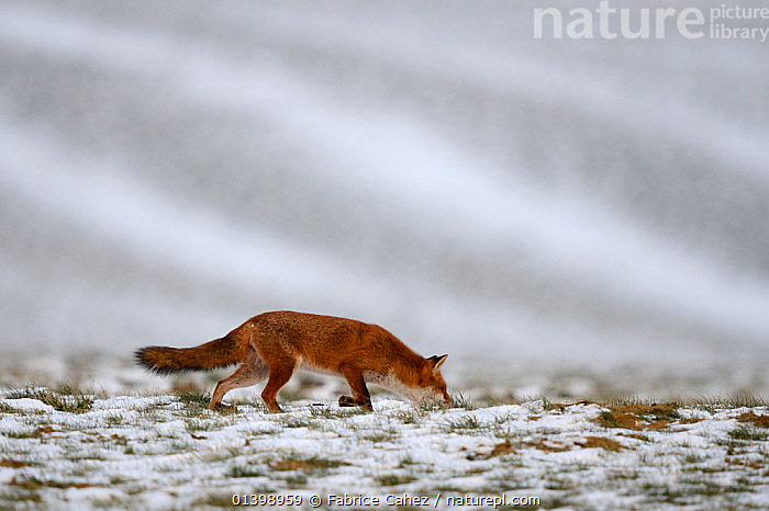 Red fox (Vulpes vulpes) following a scent, Vosges, France, February  ,  CANIDAE,CANIDS,CARNIVORES,COLD,EUROPE,FARMLAND,FIELDS,FOXES,FRANCE,MAMMALS,SNOW,VERTEBRATES,WINTER,Dogs  ,  Fabrice Cahez