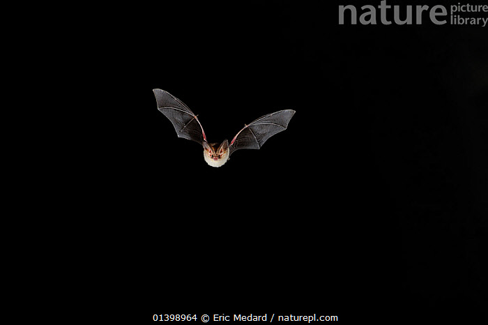 Grey Long Eared Bat (Plecotus austriacus) in flight at night. France, Europe, September.  ,  BATS,BLACK BACKGROUND,CHIROPTERA,CUTOUT,EUROPE,FLYING,FRANCE,FRONT VIEW,MAMMALS,NIGHT,VERTEBRATES,VESPERTILIONIDAE  ,  Eric Medard
