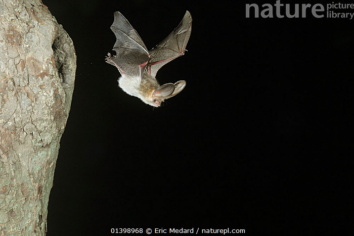 Grey Long Eared Bat (Plecotus austriacus) leaving nesting hole in tree. France, Europe, September.  ,  BATS,BLACK BACKGROUND,CHIROPTERA,CUTOUT,EUROPE,FLYING,FRANCE,HOLES,MAMMALS,NESTS,NIGHT,VERTEBRATES,VESPERTILIONIDAE  ,  Eric Medard