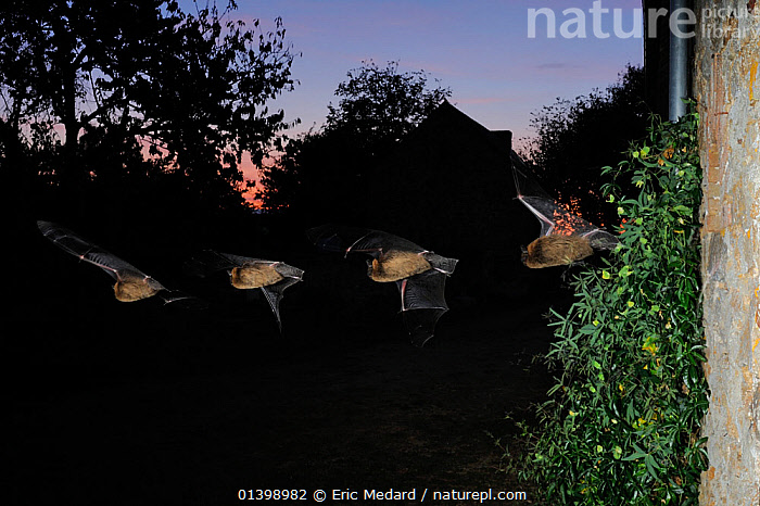 Common Pipistrelle Bat (Pipistrellus pipistrellus) in flight by buildings at dusk. Multiple strobe exposure. France, Europe, October.  ,  BATS,BUILDINGS,CHIROPTERA,DUSK,EUROPE,FLYING,FOUR,FRANCE,MAMMALS,MULTIPLE EXPOSURE ,NIGHT,SEQUENCE,TWILIGHT,VERTEBRATES,VESPERTILIONIDAE  ,  Eric Medard