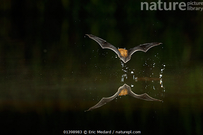 Kuhl's Pipistrelle Bat (Pipistrellus kuhlii) in flight low over water, with splash from drinking in flight. France, Europe, October., ACTION,BATS,BEHAVIOUR,CHIROPTERA,EUROPE,FLYING,FRANCE,MAMMALS,REFLECTIONS,VERTEBRATES,VESPERTILIONIDAE,WATER, Eric Medard