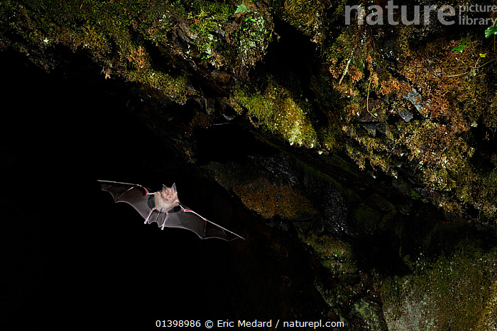 Greater Horseshoe Bat (Rhinolophus ferrumequinum) leaving cave roost to forage at night. France, Europe, October.  ,  BATS,CAVES,CHIROPTERA,EUROPE,FLYING,FRANCE,MAMMALS,NIGHT,RHINOLOPHIDAE,VERTEBRATES  ,  Eric Medard
