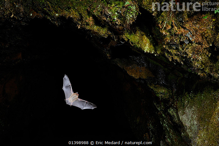 Daubenton's Bat (Myotis daubentoni) leaving cave roost to forage at night. France, Europe, October.  ,  BATS,BLACK BACKGROUND,CAVES,CHIROPTERA,CUTOUT,EUROPE,FLYING,FRANCE,MAMMALS,NIGHT,VERTEBRATES,VESPERTILIONIDAE  ,  Eric Medard