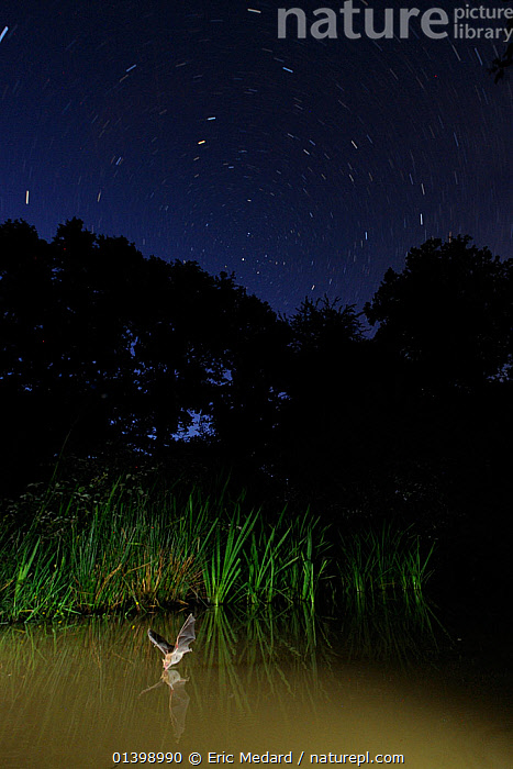 Natterer's Bat (Myotis nattereri) flying low over water to drink, with long-exposure star-trails. France, Europe, July., ACTION,BATS,BEHAVIOUR,CHIROPTERA,DRINKING,EUROPE,FLYING,FRANCE,HABITAT,LONG EXPOSURE,MAMMALS,NIGHT,SKIES,STARS,STAR TRAILS,VERTEBRATES,VESPERTILIONIDAE,WATER,Catalogue5, Eric Medard