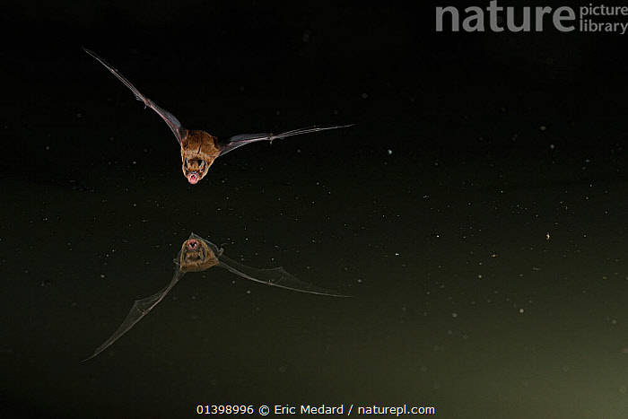 Leisler's Bat (Nyctalus leisleri) in flight above water, mouth open to emit echolocating calls. France, Europe, July., BATS,CHIROPTERA,ECHOLOCATION,EUROPE,FLYING,FRANCE,MAMMALS,NIGHT,REFLECTIONS,VERTEBRATES,VESPERTILIONIDAE,VOCALISATION,WATER, Eric Medard