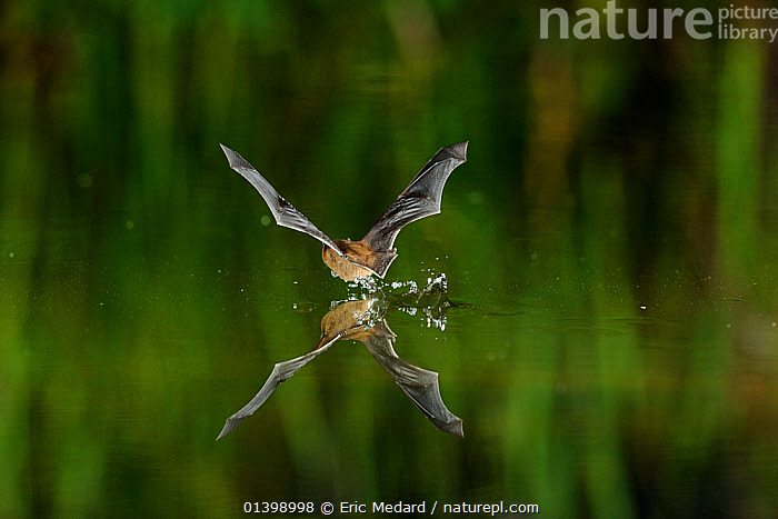 Common Pipistrelle (Pipistrellus pipistrellus) drinking from water surface in flight. France, Europe, July.  ,  ACTION,BATS,BEHAVIOUR,CHIROPTERA,DRINKING,EUROPE,FLYING,FRANCE,MAMMALS,NIGHT,REFLECTIONS,VERTEBRATES,VESPERTILIONIDAE,WATER  ,  Eric Medard