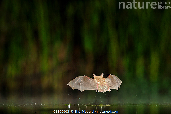 Nattererer's Bat (Myotis nattereri)  in flight low over water. France, Europe, July.  ,  BATS,CHIROPTERA,EUROPE,FLYING,FRANCE,MAMMALS,NIGHT,VERTEBRATES,VESPERTILIONIDAE,WATER  ,  Eric Medard
