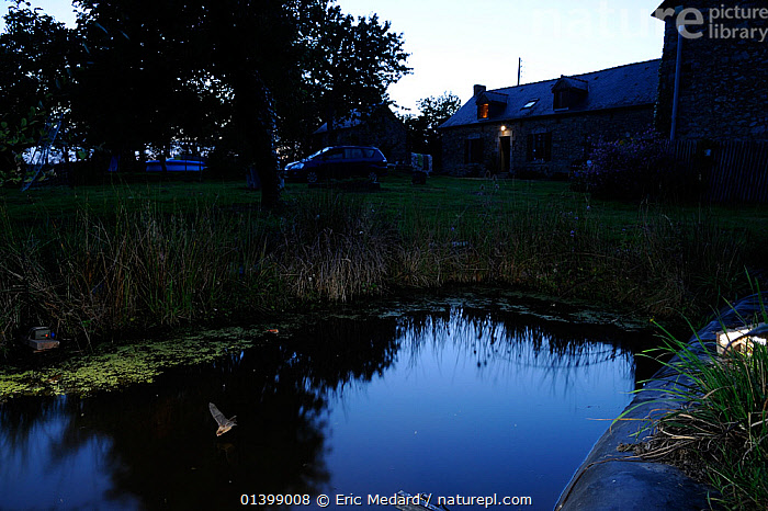 Common Pipistrelle Bat (Pipstrellus pipistrellus) in flight low over pond by buildings. France, Europe, August., BATS,BUILDINGS,CHIROPTERA,DUSK,EUROPE,FARMHOUSES,FLYING,FRANCE,MAMMALS,PONDS,VEHICLES,VERTEBRATES,VESPERTILIONIDAE,WATER, Eric Medard