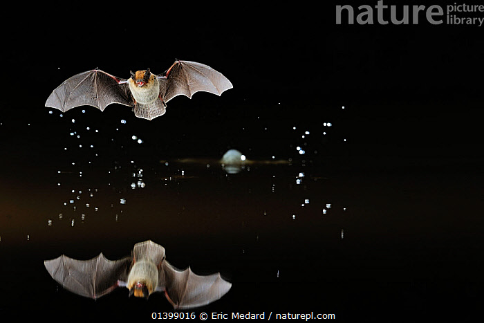 Kuhl's Pipistrelle Bat (Pipistrelle kuhlii) in flight low over water, with splash from drinking in flight. France, Europe, May.  ,  ACTION,BATS,BEHAVIOUR,CHIROPTERA,DRINKING,EUROPE,FLYING,FRANCE,MAMMALS,NIGHT,REFLECTIONS,VERTEBRATES,VESPERTILIONIDAE,WATER,Catalogue5  ,  Eric Medard
