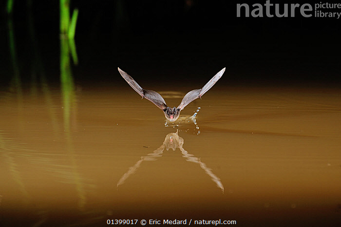 Western Barbastelle Bat (Barbastella barbastella) in flight low over water, drinking from surface. France, Europe, August., ACTION,BATS,CHIROPTERA,DRINKING,EUROPE,FLYING,FRANCE,MAMMALS,NIGHT,REFLECTIONS,VERTEBRATES,VESPERTILIONIDAE,WATER, Eric Medard
