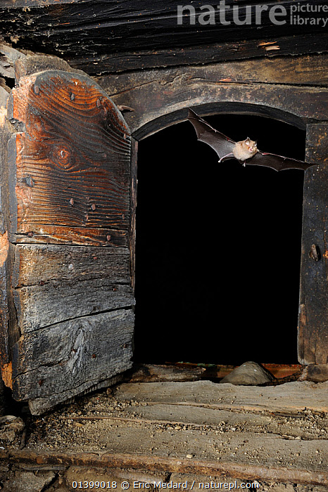 Lesser Horseshoe Bat (Rhinolophus hipposideros) flying into the attic space of a building. France, Europe, August.  ,  BATS,BUILDINGS,CHIROPTERA,EUROPE,FLYING,FRANCE,INDOORS,MAMMALS,NIGHT,RHINOLOPHIDAE,VERTEBRATES  ,  Eric Medard