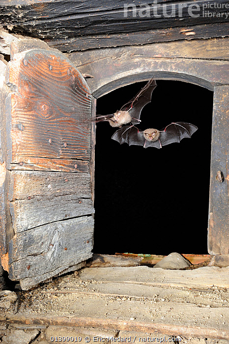 Lesser Horseshoe Bats (Rhinolophus hipposideros) flying into the attic space of a building. France, Europe, August.  ,  BATS,BUILDINGS,CHIROPTERA,EUROPE,FLYING,FRANCE,INDOORS,MAMMALS,NIGHT,RHINOLOPHIDAE,TWO,VERTEBRATES  ,  Eric Medard