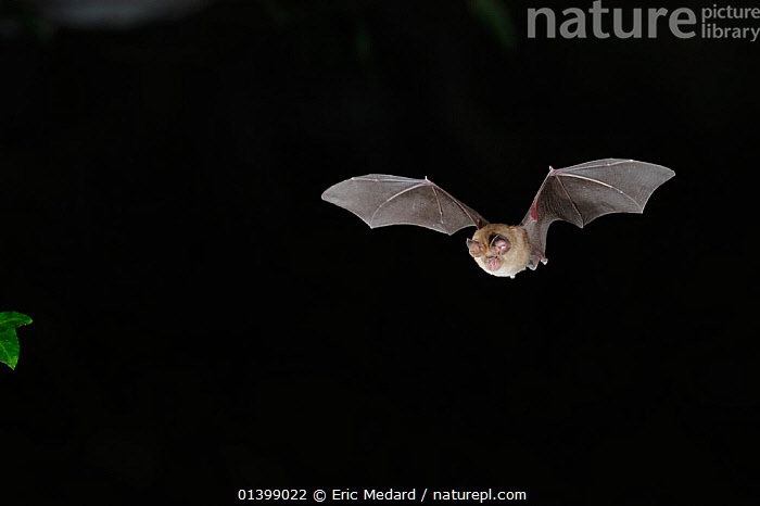 Mediterranean Horseshoe Bat (Rhinolophus euryale) in flight. France, Europe, August., BATS,BLACK BACKGROUND,CHIROPTERA,CUTOUT,EUROPE,FLYING,FRANCE,MAMMALS,NIGHT,RHINOLOPHIDAE,VERTEBRATES, Eric Medard