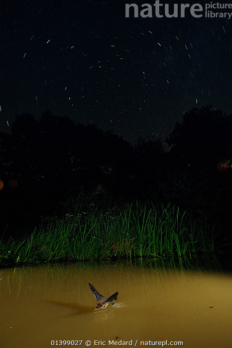 Whiskered Bat (Myotis mystacinus) drinking from water in flight, with star-trails in night sky. France, Europe, August., ACTION,BATS,BEHAVIOUR,CHIROPTERA,DRINKING,EUROPE,FLYING,FRANCE,LONG EXPOSURE,MAMMALS,NIGHT,SKY,STAR TRAILS,VERTEBRATES,VESPERTILIONIDAE,WATER, Eric Medard