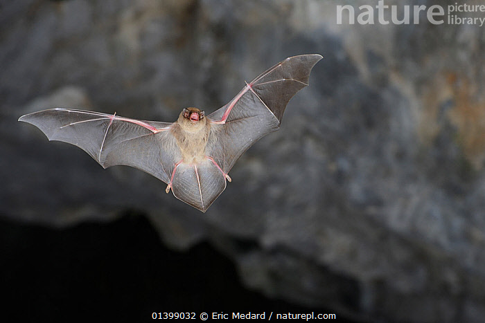 Schreiber's Long Fingered Bat (Miniopterus schreibersii) in flight in cave. France, Europe, August.  ,  BATS,BENT WINGED,CAVES,CHIROPTERA,EUROPE,FLYING,FRANCE,MAMMALS,NIGHT,VERTEBRATES,VESPERTILIONIDAE  ,  Eric Medard