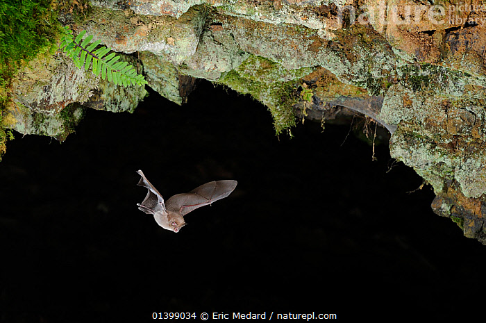 Lesser Horseshoe bat (Rhinolophus hipposideros) in flight in cave. France, Europe, August., BATS,CAVES,CHIROPTERA,EUROPE,FLYING,FRANCE,MAMMALS,NIGHT,RHINOLOPHIDAE,VERTEBRATES, Eric Medard