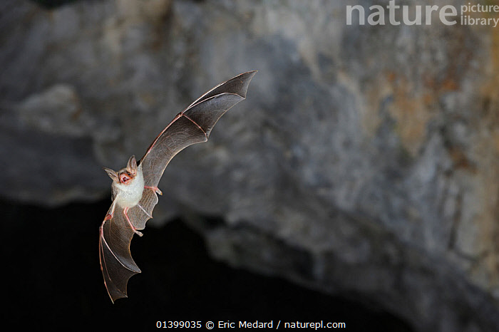 Lesser Mouse Eared Bat (Myotis blythii) in flight in cave. France, Europe, August.  ,  BATS,CAVES,CHIROPTERA,EUROPE,FLYING,FRANCE,MAMMALS,NIGHT,VERTEBRATES,VESPERTILIONIDAE  ,  Eric Medard