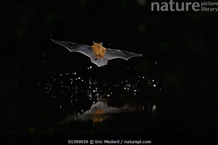 Kuhl's Pipistrelle Bat (Pipistrelle kuhlii) in flight over water, with splash from drinking in flight. France, Europe, August.  ,  ACTION,BATS,BEHAVIOUR,CHIROPTERA,DRINKING,EUROPE,FLYING,FRANCE,MAMMALS,NIGHT,REAR VIEW,VERTEBRATES,VESPERTILIONIDAE,WATER  ,  Eric Medard