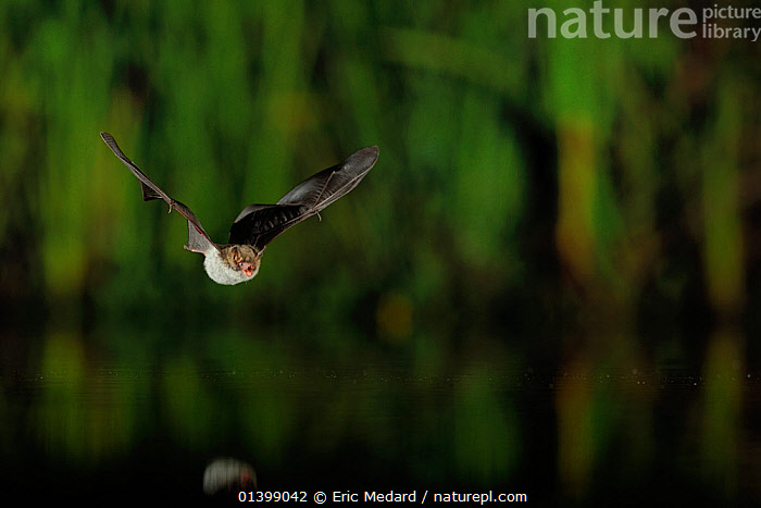 Natterer's Bat (Myotis nattereri) in flight over water with mouth open to emit echolocating calls. France, Europe, July.  ,  BATS,CHIROPTERA,ECHOLOCATION,EUROPE,FLYING,FRANCE,MAMMALS,NIGHT,VERTEBRATES,VESPERTILIONIDAE,VOCALISATION,WATER  ,  Eric Medard