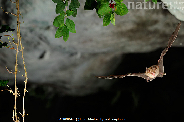 Mediterranean Horseshoe Bat (Rhinolophus euryale) in flight in cave. France, Europe, August.  ,  BATS,CAVES,CHIROPTERA,EUROPE,FLYING,FRANCE,MAMMALS,NIGHT,RHINOLOPHIDAE,VERTEBRATES  ,  Eric Medard