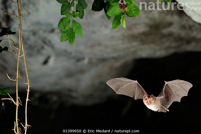 Mediterranean Horseshoe Bat (Rhinolophus euryale) in flight in cave. France, Europe, August., BATS,CAVES,CHIROPTERA,EUROPE,FLYING,FRANCE,MAMMALS,NIGHT,RHINOLOPHIDAE,VERTEBRATES, Eric Medard