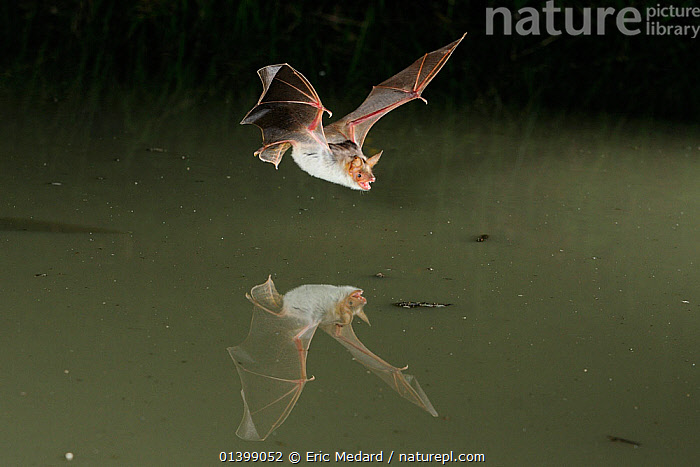 Lesser Mouse Eared Bat (Myotis blythii) in flight low over water, mouth open to emit echolocating calls. France, Europe, July., BATS,CHIROPTERA,ECHOLOCATION,EUROPE,FLYING,FRANCE,MAMMALS,NIGHT,REFLECTIONS,VERTEBRATES,VESPERTILIONIDAE,VOCALISATION,WATER, Eric Medard