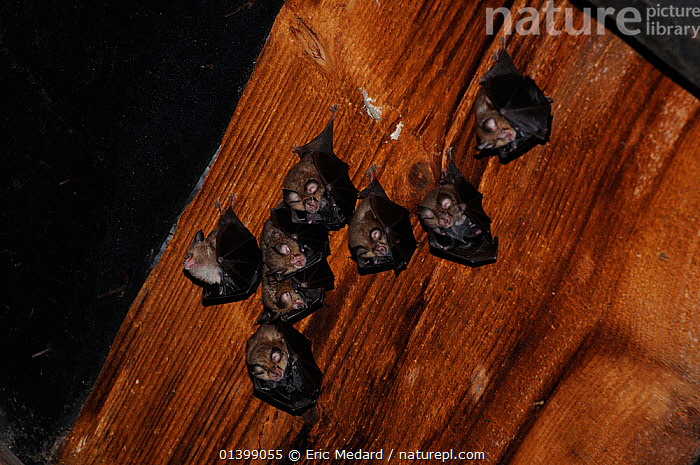 Lesser Horseshoes Bats (Rhinolophus hipposideron) with young roosting in attic. France, Europe, August.  ,  BATS,CHIROPTERA,EUROPE,FAMILIES,FRANCE,GROUPS,INDOORS,MAMMALS,RHINOLOPHIDAE,ROOSTING,VERTEBRATES  ,  Eric Medard