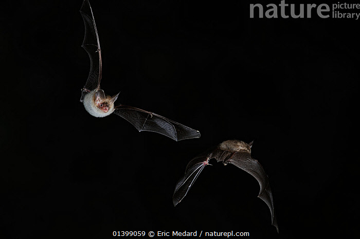 Two Bechstein's Bat (Myotis bechsteinii) in flight at night, mouth open to emit echolocating calls. France, Europe, September., BATS,BLACK BACKGROUND,CHIROPTERA,CUTOUT,ECHOLOCATION,EUROPE,FLYING,FRANCE,MAMMALS,NIGHT,TWO,VERTEBRATES,VESPERTILIONIDAE,VOCALISATION, Eric Medard
