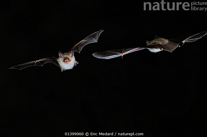 Two Bechstein's Bat (Myotis bechsteinii) in flight at night, mouth open to emit echolocating calls. France, Europe, September., BATS,BLACK BACKGROUND,CHIROPTERA,CUTOUT,ECHOLOCATION,EUROPE,FLYING,FRANCE,MAMMALS,NIGHT,VERTEBRATES,VESPERTILIONIDAE,VOCALISATION, Eric Medard