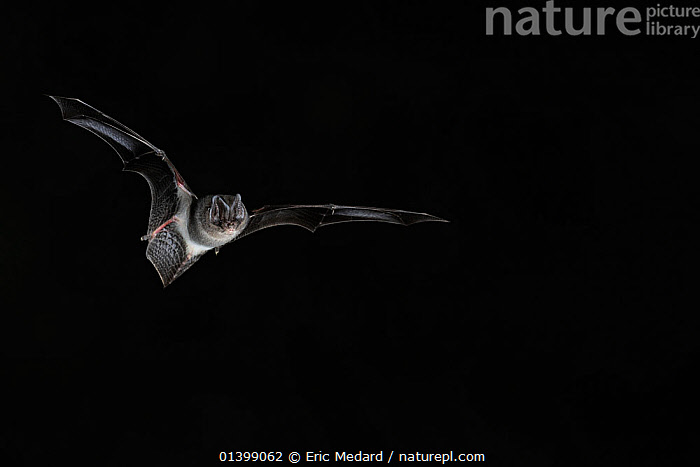 Western Barbastelle Bat (Barbastella barbastella) in flight at night. France, Europe, July.  ,  BATS,BLACK BACKGROUND,CHIROPTERA,CUTOUT,EUROPE,FLYING,FRANCE,MAMMALS,NIGHT,VERTEBRATES,VESPERTILIONIDAE  ,  Eric Medard