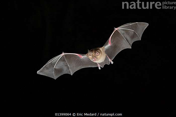 Greater Horseshoe Bat (Rhinolophus ferrumequinum) in flight at night, mouth open to emit echolocating calls. France, Europe, September.  ,  BATS,BLACK BACKGROUND,CHIROPTERA,CUTOUT,ECHOLOCATION,EUROPE,FLYING,FRANCE,MAMMALS,NIGHT,RHINOLOPHIDAE,VERTEBRATES,VOCALISATION  ,  Eric Medard