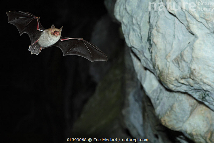 Natterer's Bat (Myotis nattereri) in flight in cave with mouth open to emit echolocating calls. France, Europe, September., BATS,CAVES,CHIROPTERA,ECHOLOCATION,EUROPE,FLYING,FRANCE,MAMMALS,NIGHT,VERTEBRATES,VESPERTILIONIDAE,VOCALISATION, Eric Medard