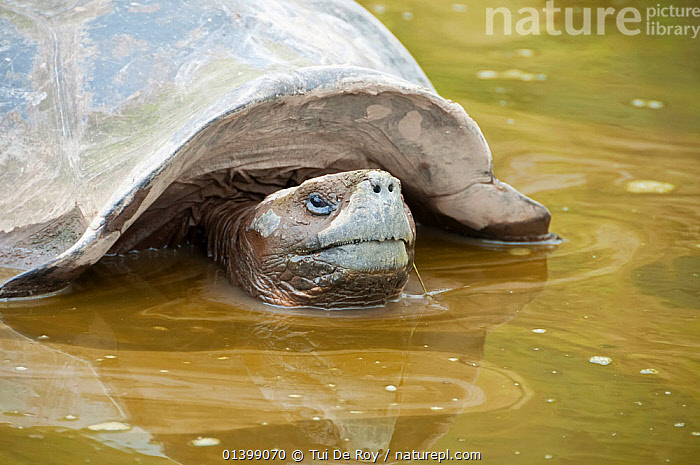Volcan Alcedo giant tortoise (Chelonoidis nigra vandenburghi) in muddy water possibly for warmth or to deter ticks, Alcedo Island, Isabela island, Galapagos, BATHING, FRESHWATER, GALAPAGOS, PORTRAITS, REPTILES, SOUTH-AMERICA, TORTOISES, VERTEBRATES, Vulnerable, WATER,Chelonia, Tui De Roy