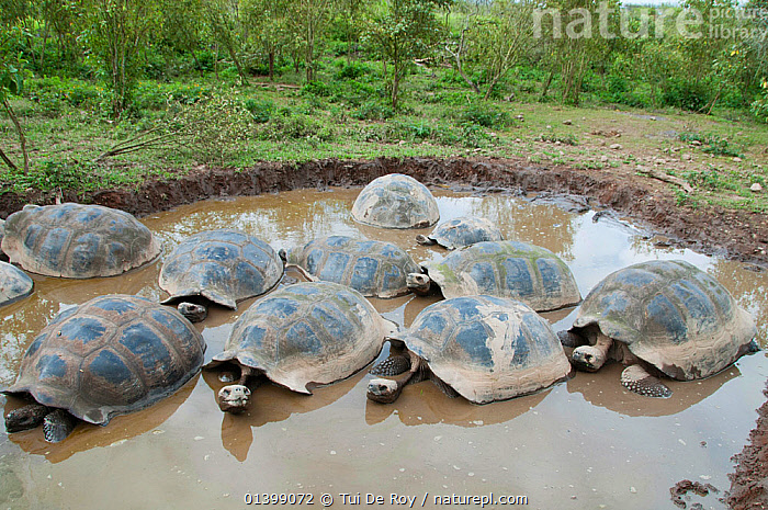 Volcan Alcedo giant tortoise (Chelonoidis nigra vandenburghi) group in muddy water, possibly for thermoregulation or control of parasites, Isabela Island, Galapagos  ,  BATHING, FRESHWATER, GALAPAGOS, GROUPS, REPTILES, SOUTH-AMERICA, TORTOISES, VERTEBRATES, Vulnerable, WATER,Chelonia  ,  Tui De Roy