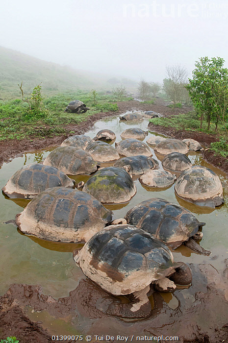 Volcan Alcedo giant tortoise (Chelonoidis nigra vandenburghi) wallowing in rain pools on caldera floor,  possibly for thermoregulation or to deter parasites, Alcedo Volcano, Isabela Island, Galapagos, GALAPAGOS, GROUPS, mud, Muddy, RAIN, REPTILES, SOUTH-AMERICA, TORTOISES, VERTEBRATES, VERTICAL, Vulnerable, wallowing, WATER,Chelonia, Tui De Roy