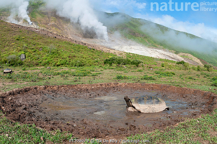 Volcan Alcedo giant tortoises (Chelonoidis nigra vandenburghi) wallowing in a muddy pool,  possibly for thermoregulation or to deter parasites, with sulphur fumaroles, Alcedo Volcano, Isabela Island, Galapagos  ,  HABITAT, LANDSCAPES, mud, Muddy, pools, REPTILES, TORTOISES, VERTEBRATES, VOLCANOES, Vulnerable, wallowing, WATER,Geology,Chelonia  ,  Tui De Roy
