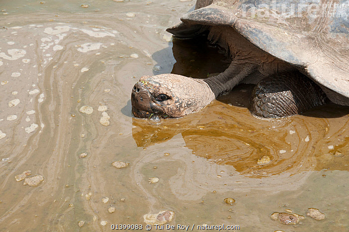 Volcan Alcedo giant tortoise(Chelonoidis nigra vandenburghi) in muddy water, possibly for thermoregulation or to deter parasites, Isabela Island, Galapagos  ,  BATHING, GALAPAGOS, mud, Muddy, REPTILES, SOUTH-AMERICA, TORTOISES, VERTEBRATES, Vulnerable, wallowing, WATER,Chelonia  ,  Tui De Roy