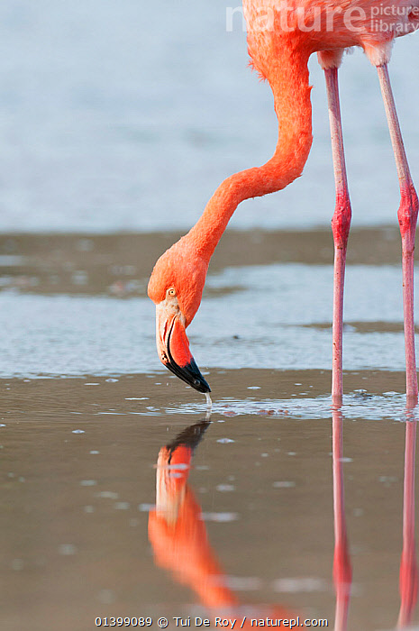 American flamingo (Phoenicopterus ruber) feeding from water surface. Floreana Island, Galapagos, Ecuador, June.  ,  BEHAVIOUR,BIRDS,Ecuador,FEEDING,FLAMINGOS,GALAPAGOS,Phoenicopteridae,REFLECTIONS,SOUTH AMERICA,VERTEBRATES,VERTICAL  ,  Tui De Roy