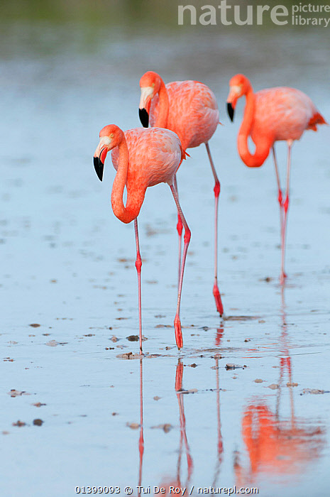 American flamingo (Phoenicopterus ruber) walking on shallow water. Floreana Island, Galapagos, Ecuador, June.  ,  BIRDS,Ecuador,FLAMINGOS,GALAPAGOS,GROUPS,Phoenicopteridae,PORTRAITS,REFLECTIONS,SOUTH AMERICA,THREE,VERTEBRATES,VERTICAL  ,  Tui De Roy
