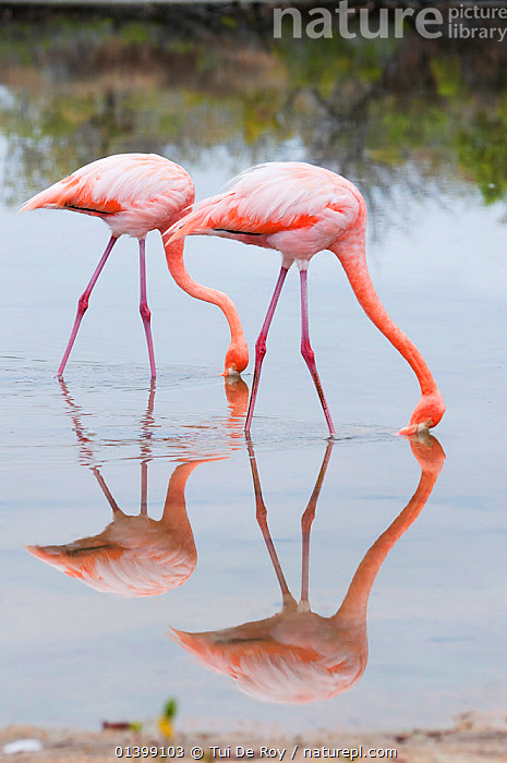 American flamingo (Phoenicopterus ruber) feeding