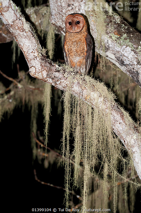 Galapagos Barn Owl (Tyto alba punctatissima) perched in tree at night. Wolf Volcano, Isabela Island, Galapagos Islands, Ecuador, December., BIRDS,BIRDS OF PREY,Ecuador,GALAPAGOS,NIGHT,OWLS,PORTRAITS,SOUTH AMERICA,Tytonidae,VERTEBRATES,VERTICAL,Raptor, Tui De Roy