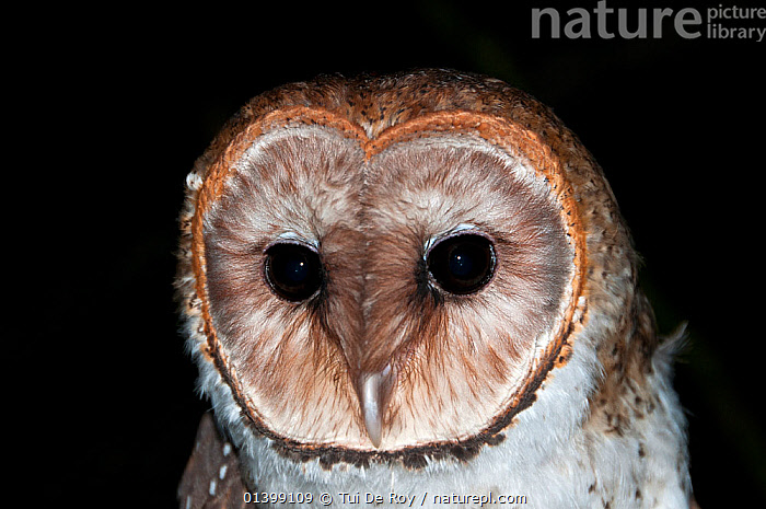 Galapagos Barn Owl (Tyto alba punctatissima) portrait. Galapagos Islands, Ecuador, October.  ,  BIRDS,BIRDS OF PREY,Ecuador,FACES,GALAPAGOS,HEADS,NIGHT,OWLS,PORTRAITS,SOUTH AMERICA,Tytonidae,VERTEBRATES,Raptor  ,  Tui De Roy