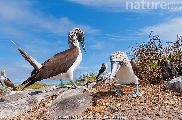 Blue-footed booby (Sula nebouxii) at their colony. Espanola, Galapagos Islands, June., BIRDS,BOOBIES,colonies,Ecuador,GALAPAGOS,GROUPS,SEABIRDS,SOUTH AMERICA,Sulidae,VERTEBRATES,SOUTH-AMERICA, Tui De Roy