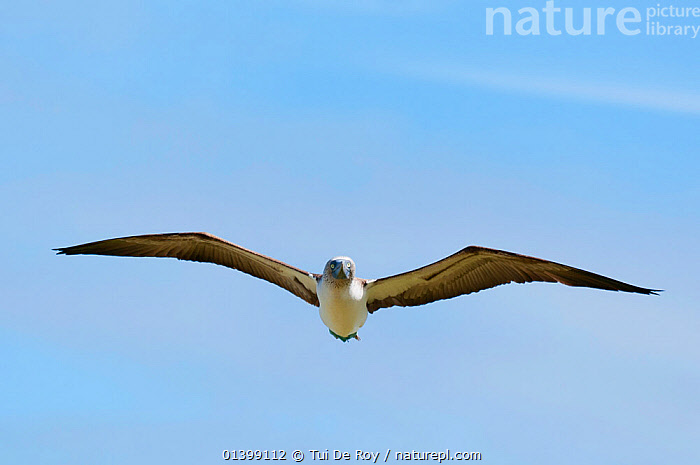 Blue-footed booby (Sula nebouxii) in flight. Espanola, Galapagos Islands, June.  ,  BIRDS,BOOBIES,Ecuador,FLYING,GALAPAGOS,galapagos islands,SEABIRDS,Sulidae,VERTEBRATES,wingspan,SOUTH-AMERICA  ,  Tui De Roy