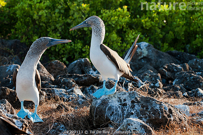 Blue-footed Boobies (Sula nebouxii) on guano covered rocks. Santa Cruz Island, Galapagos, June.  ,  BIRDS,BOOBIES,colonies,droppings,Ecuador,GALAPAGOS,SEABIRDS,SOUTH AMERICA,Sulidae,two,VERTEBRATES,SOUTH-AMERICA  ,  Tui De Roy