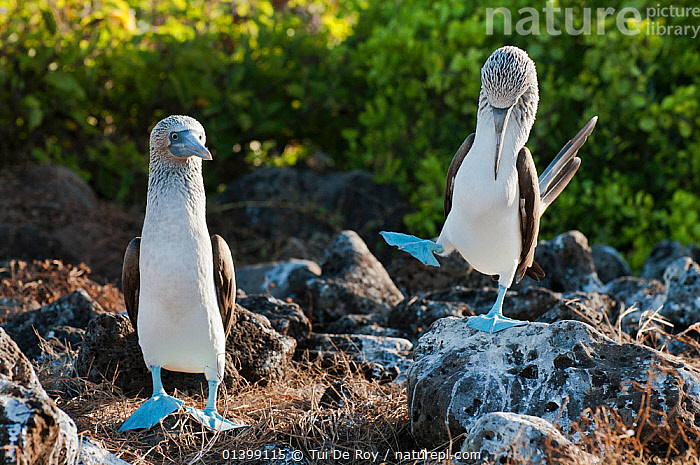 Blue-footed Booby (Sula nebouxii) on guano covered rocks. Santa Cruz Island, Galapagos, June., BIRDS,BOOBIES,colonies,DISPLAY,Ecuador,GALAPAGOS,GROUPS,HUMOROUS,SEABIRDS,SOUTH AMERICA,Sulidae,two,VERTEBRATES,WALKING,Communication,SOUTH-AMERICA,Concepts, Tui De Roy