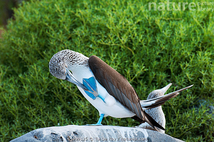 Blue-footed Booby (Sula nebouxii) male performing foot-lifting dance. Punta Cevallos, Galapagos Islands, May.  ,  BEHAVIOUR,BIRDS,BOOBIES,COURTSHIP,dance,dancing,DISPLAY,Ecuador,GALAPAGOS,HUMOROUS,MALES,SEABIRDS,SOUTH AMERICA,Sulidae,VERTEBRATES,Communication,SOUTH-AMERICA,Concepts  ,  Tui De Roy